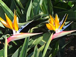 fleurs-oiseaux-de-paradis